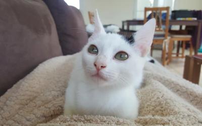 Protégeons nos chats blancs du soleil