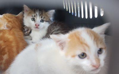 Ce sont 4 chatons qui ont rejoint l'association aujourd'hui