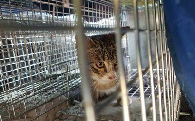 Campagne de stérilisation : à nouveau un jeune chat trappé sur Sansais